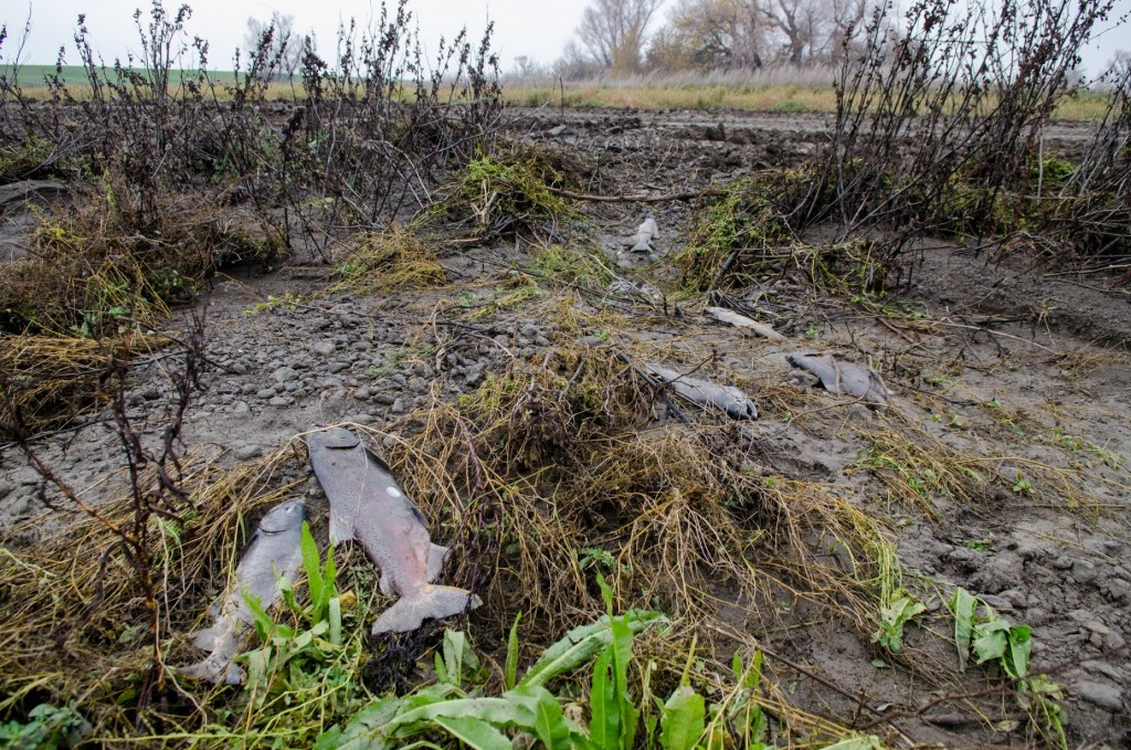 High storm flows in late December 2014 into the Yolo Bypass from the Knights Landing Ridge Cut attracted many salmon to the northern end of the Bypass