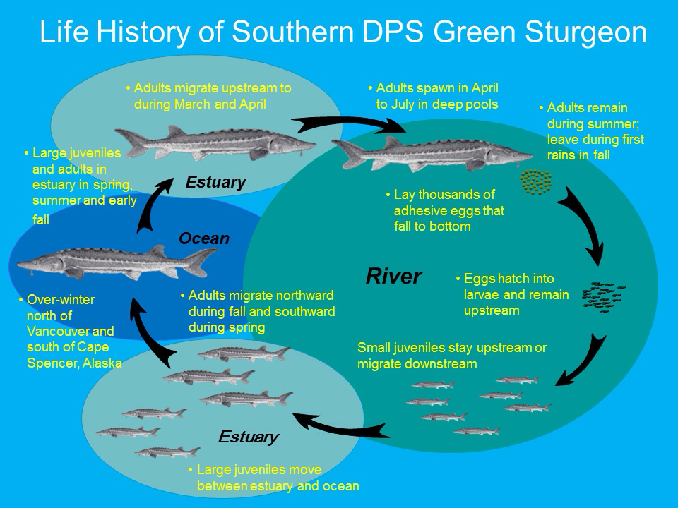 Life History of Southern DPS Green Sturgeon